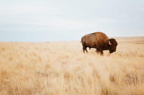 A Buffalo (Bison) on the Savannah